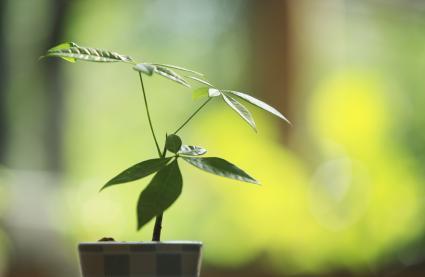 Árbol del dinero cerca de una ventana