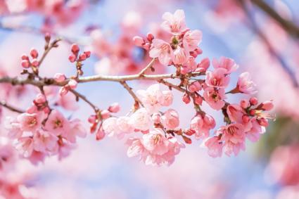 Arbol con flores de ciruelo