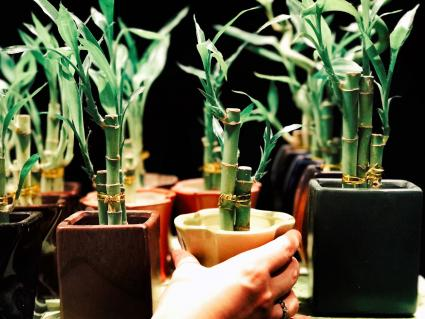 Varias macetas con bambú