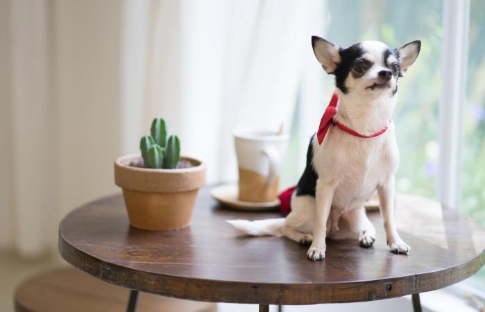 Perro sentado sobre una mesa de madera