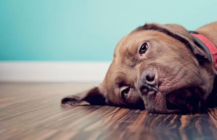 Perro marrón acostado en el suelo