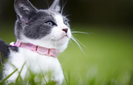 gatito gris y blanco al aire libre en el césped