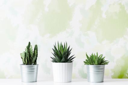 Cactus en diferentes macetas delante de una pared verde