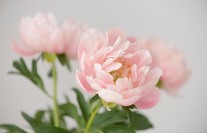 Hermoso ramo de peonía rosa pálido