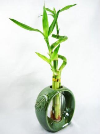 Bambú de la suerte con jarrón
