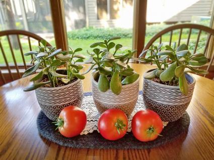 tomates y plantas de jade sobre la mesa