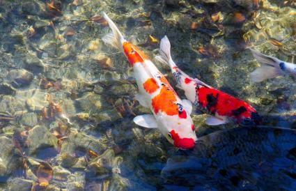 Colorido pez koi en el agua
