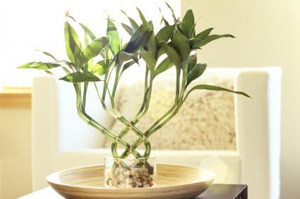Planta de bambú en el salón
