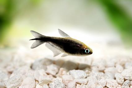 Pez tropical negro en un acuario