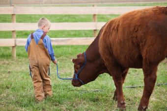 Boy with his 4-H Calf