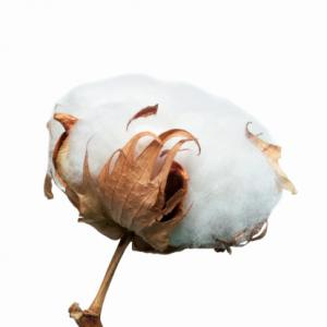 Cotton boll
