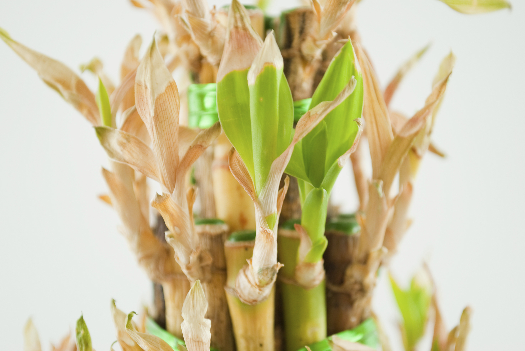 What To Do When Lucky Bamboo Turns Yellow Lovetoknow