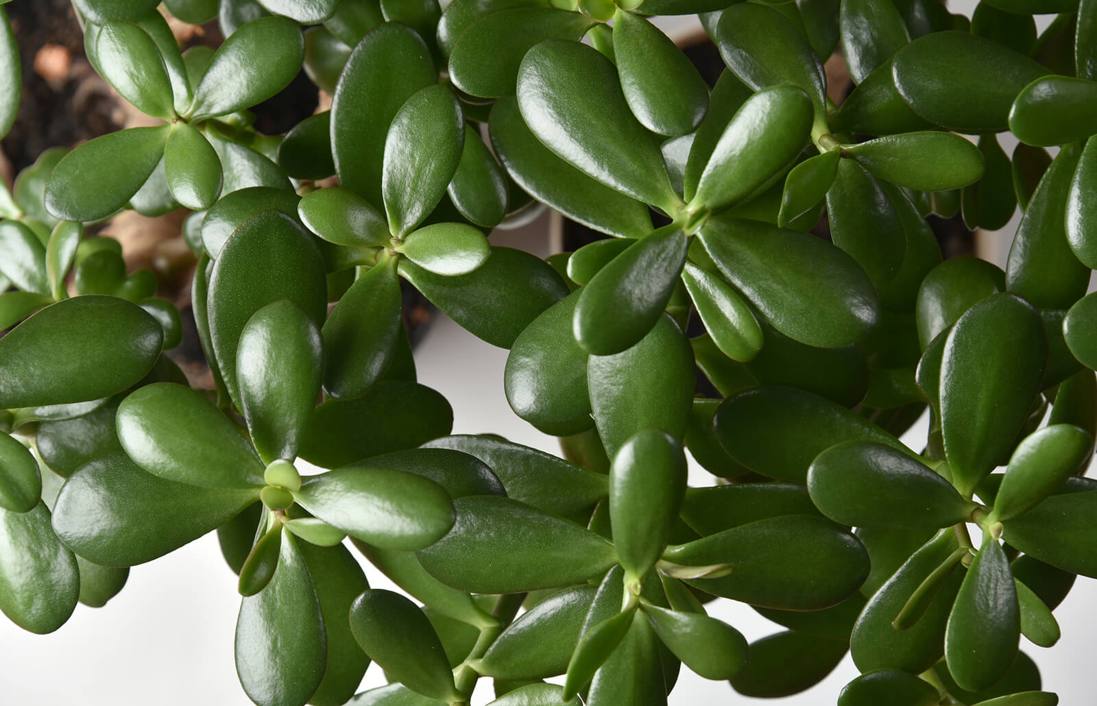 How To Use Jade Plants In Feng Shui Lovetoknow
