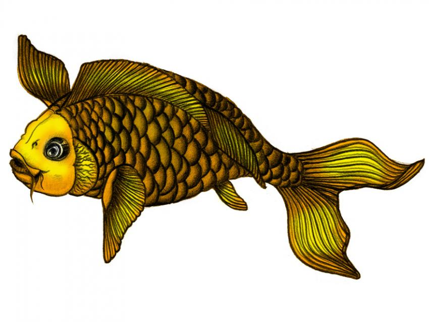 https://cf.ltkcdn.net/feng-shui/images/slide/248923-850x638-yellow-koi-fish.jpg