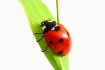 Do Ladybugs Bring Good Luck?