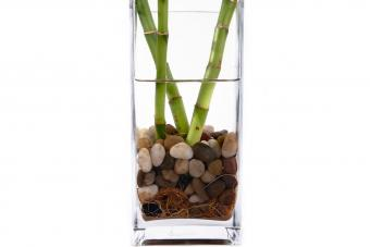 Lucky bamboo in water
