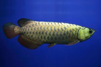 How to Use Arowana Fish in Feng Shui