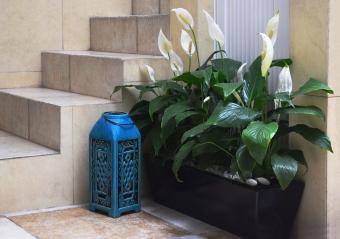 Peace Lily in planter box