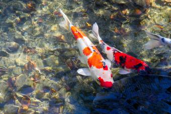 Colorful Koi Fish In Water