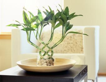 Lucky bamboo plant on table