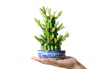 Lucky bamboo in a blue and white bowl