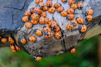 Asian beetle infestation