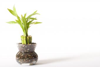 Lucky bamboo plant on white background