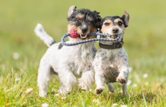 Two cute friendly dogs are playing with a ball