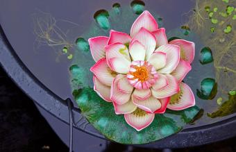 Lotus blossom in pond