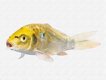 https://cf.ltkcdn.net/feng-shui/images/slide/248802-850x638-7-koi-fish-drawings.jpg