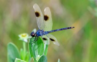 Dragonfly Meaning in Feng Shui + Placement Tips