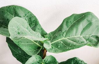 little fiddle leaf fig