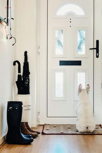 French Bulldog waiting patiently in front of the door