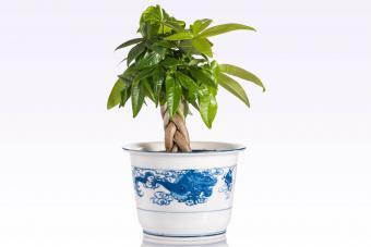 Braided Money Tree Plants