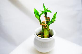 lucky bamboo plant