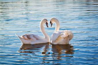 Two white swans forming a heart shape with their necks