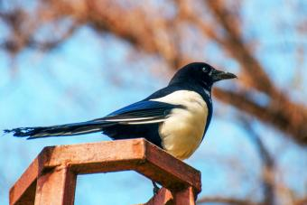Magpie Perching on a Trellis