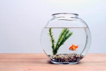 Goldfish in round aquarium