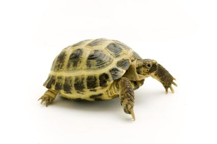turtle with pronounced shell