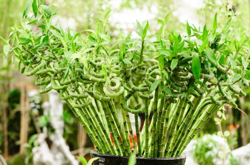 6/'/'in Lucky Bamboo Pineapple Design 23 Stalk