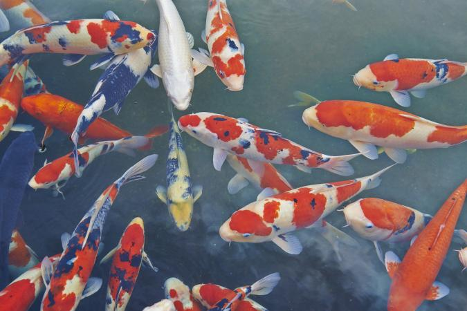 What do koi fish symbolize lovetoknow for Pictures of coy fish