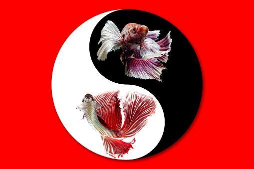 Betta fish in Yin Yang symbol