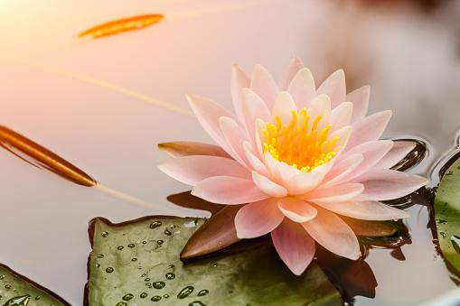 9 good luck flowers and how to make the most of them lotus mightylinksfo