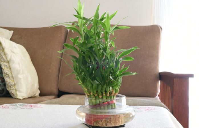 Home Bamboo water plant