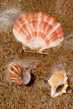 Fibonacci sequence in seashells