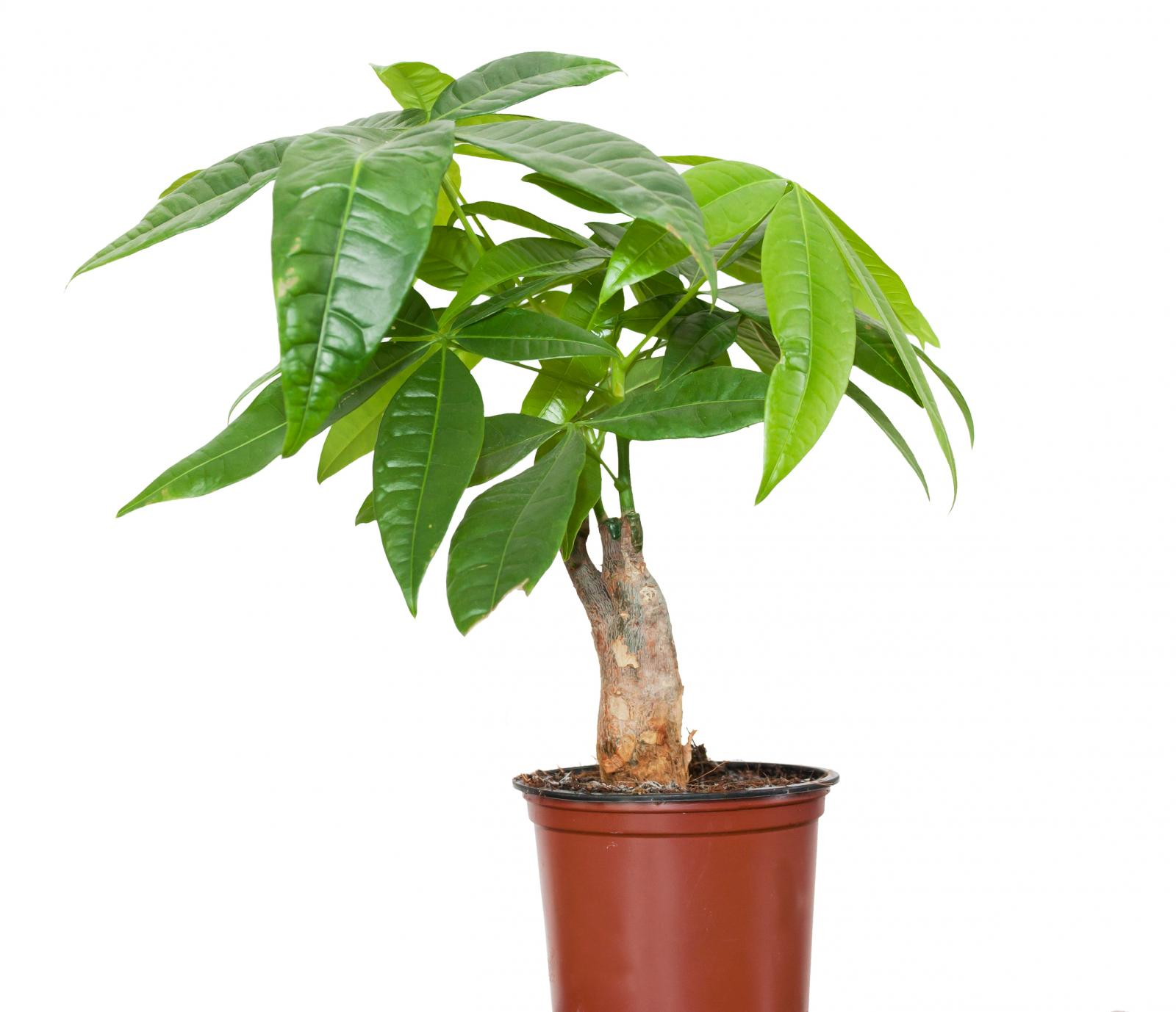 Pachira plant is feng shui money tree