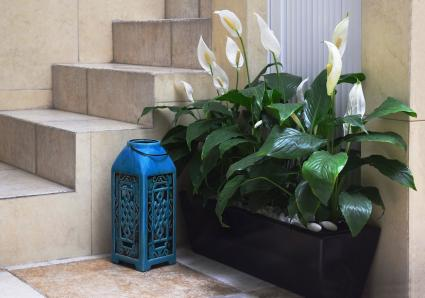 Peace Lily in planter box