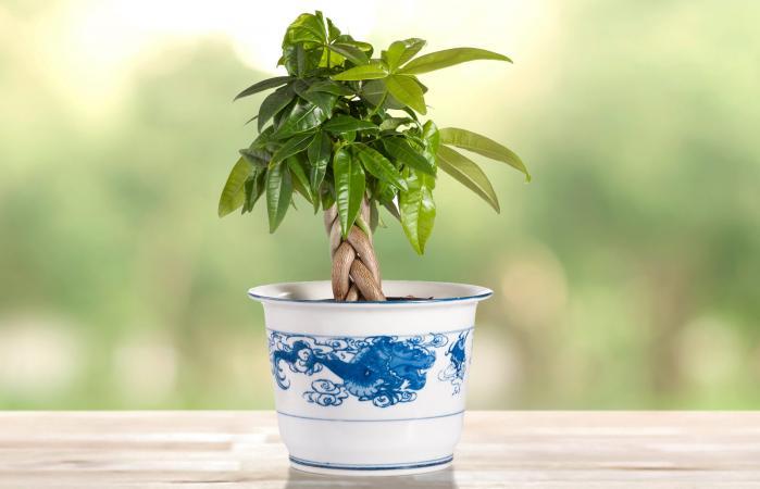 Pachira aquatica or Money Tree