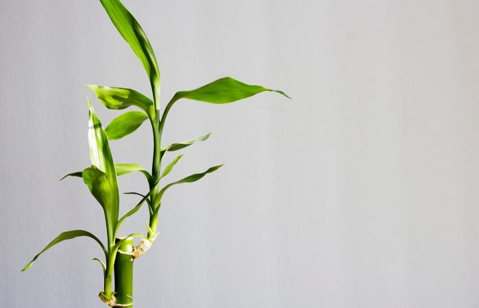 lucky bamboo stalks