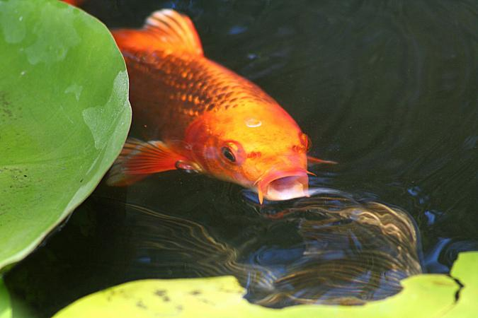 koi blowing bubbles in fish pond